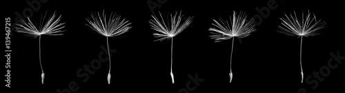 Seeds of dandelion on black background - 139467215