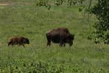 South Dakota sheep, buffalo, mountain goats and pronghorns.