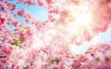 Die Sonne scheint durch frische Kirschblüten