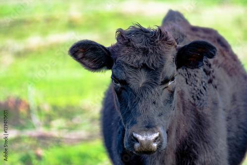 Yearling heifer in spring Poster