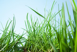 leaf grass on a blue background