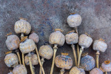 Dried poppy heads and grains. Opium drugs, opiate, heroin