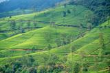 Tea plantation landscape in Sri Lanka