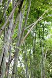 Bamboo tree of Bright green in public garden.