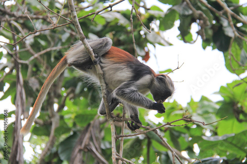Side View of Red Colubus Monkey