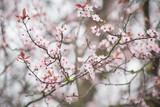 spring cherry blossom - 139502091