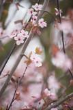 spring cherry blossom - 139502097