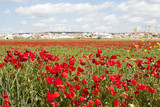 Poppy Field - Spain
