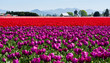 Tulip fields during Skagit Valley Tulip Festival in Washington state, USA