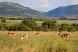 Fototapeta Sawanna - Antylopy impala i antylopy Springbok w parku narodowym Pilanesberg © andrzej_67