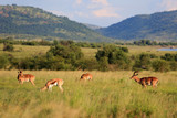 Antylopy impala i antylopy Springbok w parku narodowym Pilanesberg
