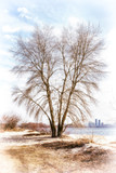View of a white poplar tree close to  the Dnieper river in winter