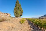 vignoble des Côtes Catalanes, Maury, Roussillon, France