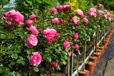 Potted Flowers in a Market Garden - 139566244