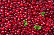 Cranberry. Fresh ripe red berry with leaves. Food background.