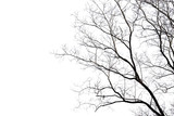 Dead branches , Silhouette dead tree or dry tree on white background with clipping path. - 139581625