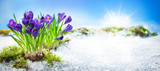 Crocus flowers blooming through the melting snow - 139596875