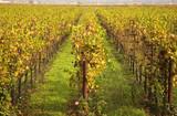 Yellow Leaves Vines Rows Grapes Fall Vineyards Napa California