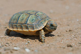Spur-thighed Tortoise (Testudo graeca)/Tiny Spur-thighed Tortoise in Moroccan desert