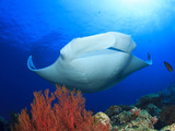 Manta Ray comes to cleaning station. Manta ray swims over coral reef with fish - 139634406