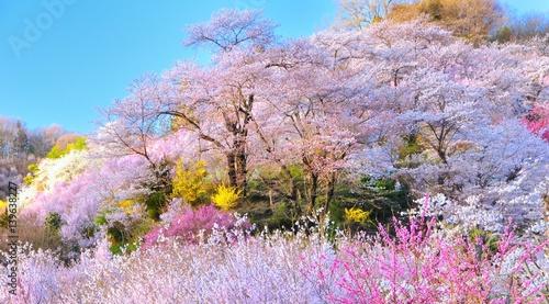 Fotobehang Lichtroze 春・桜・満開の桃源郷