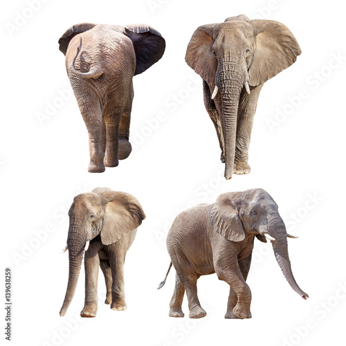 African Elephants Different Positions Isolated