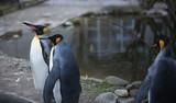 King Penguins (Aptenodytes patagonicus) standing