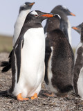 Gentoo penguin, Pygoscelis Papua, feed the chick, Falkland Islands