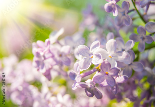 Beautiful branch of blooming lilac close-up