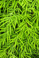 Vivid green color of bamboo leaf