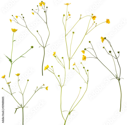 In de dag Bloemen group of wild golden buttercup flowers isolated on white