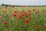 Mohn Feld, Garten Kräuter, Beeren, Blüten