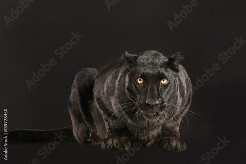 Fototapeta Schwarzer Panther als Studioaufnahme