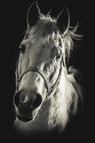 horse portrait - black and white photo