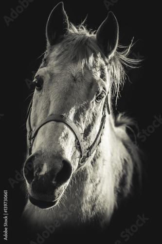 horse portrait  - black and white photo