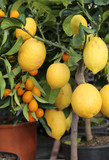 lemon tree with yellow ripe fruit