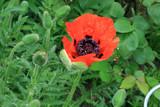 Türkenmohn, Blüte geöffnet
