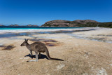 Lucky Bay in the Cape Le Grande National Park near Esperance in Western Australia is famous for the wild kangaroos that roam and laze on the beach.