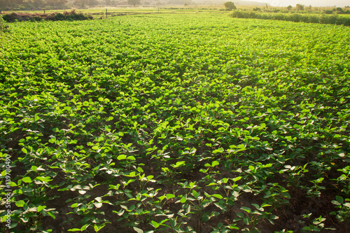 Fotobehang Lime groen Peanut field with beautiful orange sun light