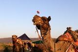 катание на верблюдах по пустыне