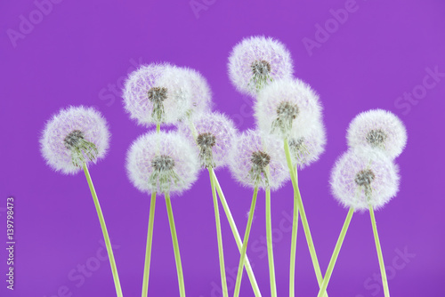 Foto op Canvas Violet Dandelion flower on purple color background, group objects on blank space backdrop, nature and spring season concept.