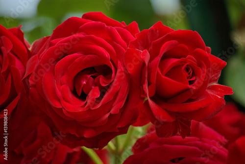 Rose rouge carmin au jardin au printemps