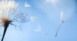 flying dandelion seeds on a blue background