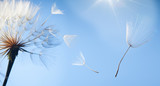 flying dandelion seeds on a blue background
