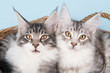 Maine coon kittens on blue