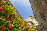 red flowers falling on the wall of street in tuscany city