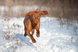 Vizsla dog running in the snow