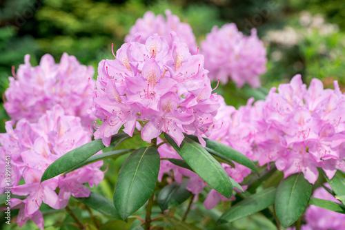 Aluminium Azalea Flower Pink Rhododendron close-up