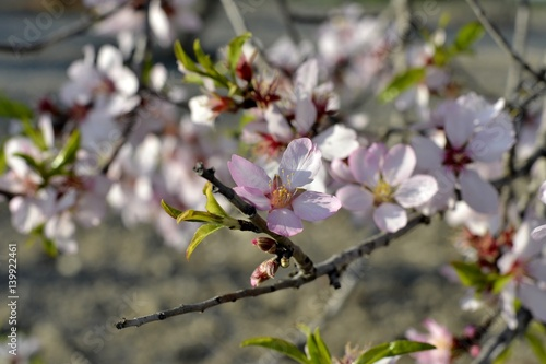 Poster Details of almond tree flowers and green leaves