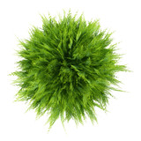 top view of thuja plant isolated on white background - 139930822